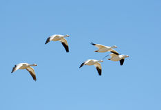Flock of snow geese in flight, Migration Stock Image