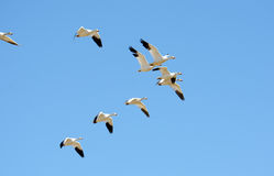 Flock of snow geese in flight, Migration Royalty Free Stock Photo
