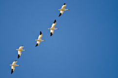 Flock of Snow Geese Flying in a Blue Sky Royalty Free Stock Image