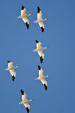 Flock of Snow Geese Flying in a Blue Sky Stock Photography