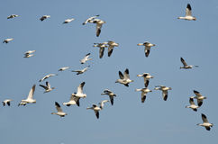 Flock of Snow Geese Flying in a Blue Sky Royalty Free Stock Photography