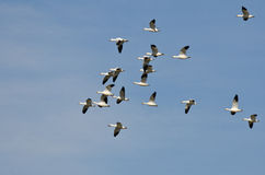 Flock of Snow Geese Flying in a Blue Sky Royalty Free Stock Images