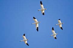 Flock of Snow Geese Flying in a Blue Sky Royalty Free Stock Photo