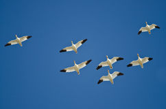 Flock of Snow Geese Flying in a Blue Sky Stock Image