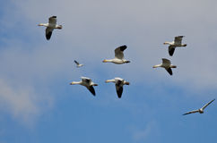 Flock of Snow Geese Flying in a Cloudy Sky Stock Photography