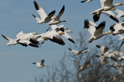 Flock of Snow Geese Flying Over the Marsh Stock Photos