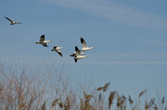 Flock of Snow Geese Flying Over the Marsh Royalty Free Stock Photos