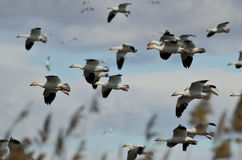 Flock of Snow Geese Landing in the Marsh Royalty Free Stock Photo