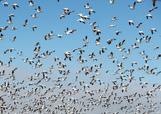 Flock of Snow Geese Taking Flight. Against a clear blue sky Stock Photography