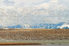 Flock of Snow Geese Taking Off Royalty Free Stock Photography