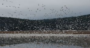 Flock of snow geese taking off from pond royalty free stock image