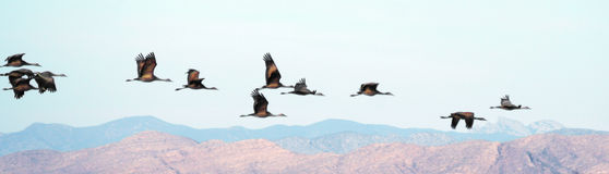 A Flock Soars Over Cochise Royalty Free Stock Photos