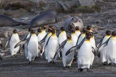 Flock som går konungen Penguins Royaltyfria Foton