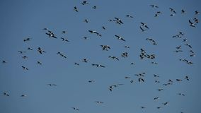 Flock of sooty gulls hovering in the sky stock video footage