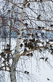 A flock of sparrows. Sitting on the branches of a birch Royalty Free Stock Photography