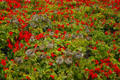 A flock of sparrows. Sitting on red flowers Royalty Free Stock Photo