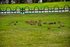A flock of sparrows ate on the grass.  royalty free stock photo