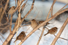 Flock of sparrows Royalty Free Stock Photo