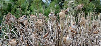Flock of sparrows on the bush Stock Images