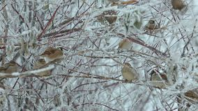 A flock of sparrows in the bushes in the winter. In the city Park at the trough stock video