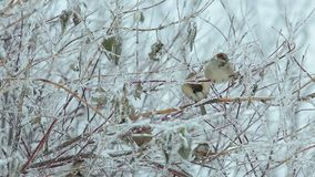 A flock of sparrows in the bushes in the winter. In the city Park at the trough stock video footage