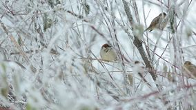 A flock of sparrows in the bushes in the winter. In the city Park at the trough stock footage