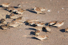 Flock of sparrows Stock Images