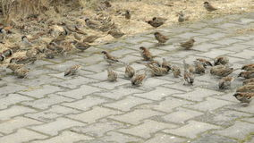 Flock of sparrows eating millet in urban park. Outdoors stock video footage