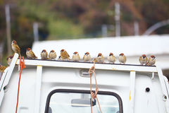 A flock of sparrows Royalty Free Stock Images