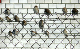 A flock of sparrows Stock Images