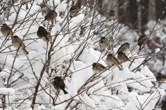 Sparrows in a park during winter season, Moscow