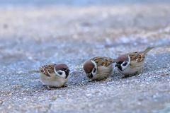 Flock of sparrows Passer mounatus, Aves, Passseriformes. A flock of sparrows Passer mounatus, Aves, Passseriformes are looking for food on the ground in a chilly stock image