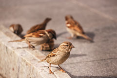 A flock of sparrows pecking bread crumbs. A flock of sparrows pecking crumbs on the road Stock Photo