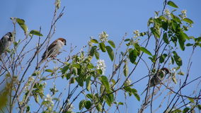 Flock of sparrows perched on the branches of trees against the blue clear sky, nature, animal bird clear day the sun.  stock video footage
