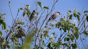 Flock of sparrows perched on the branches of trees against the blue clear sky, nature, animal bird clear day the sun.  stock video