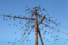 A flock of sparrows on the power line. Royalty Free Stock Images