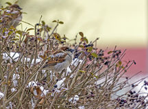 Flock of sparrows on a red branch Royalty Free Stock Images