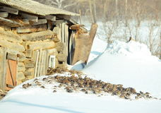 Flock of sparrows. The flock of sparrows sits on white snow about a barn Stock Photography
