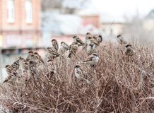 A flock of sparrows Royalty Free Stock Photography