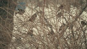 A flock of sparrows sitting on the branches of trees in winter. A flock of sparrows sitting in the branches of a tree. Snow is falling. Hungry birds sit on a stock video footage