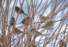 Flock of Sparrows Sitting on Bush Royalty Free Stock Image