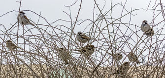 Flock of sparrows Stock Photos