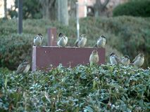 A flock of sparrows. Sitting on light reflector during the winter stock footage