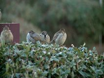 A flock of sparrows. Sitting on light reflector during the winter stock video