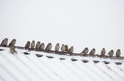 Flock of sparrows sitting on the roof Stock Photography