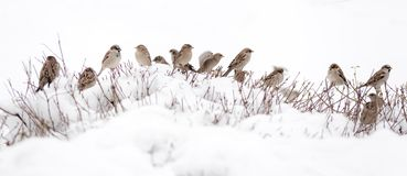 Flock of sparrows. A flock of sparrows sitting on a snow-covered branches of a bush Stock Photo