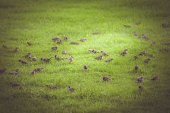 Flock of sparrows Royalty Free Stock Image
