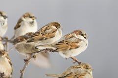 Flock of sparrows, sunny. A flock of sparrows, sunny. Winter storeroom, nesting. Horizontal close-up shot Stock Image