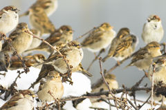 Flock of sparrows, sunny. A flock of sparrows, sunny. Winter storeroom, nesting. Horizontal close-up shot Stock Photos