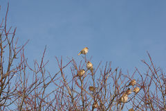 Flock of sparrows on the tree Stock Photos